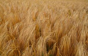 Lepek je bílkovina vyskytující se v semenech žita, pšenice, ječmene a ovsa
