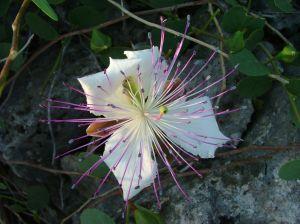 Rozkvětlý květ kapary
