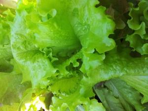 Fotka zeleného hlávkového salátu