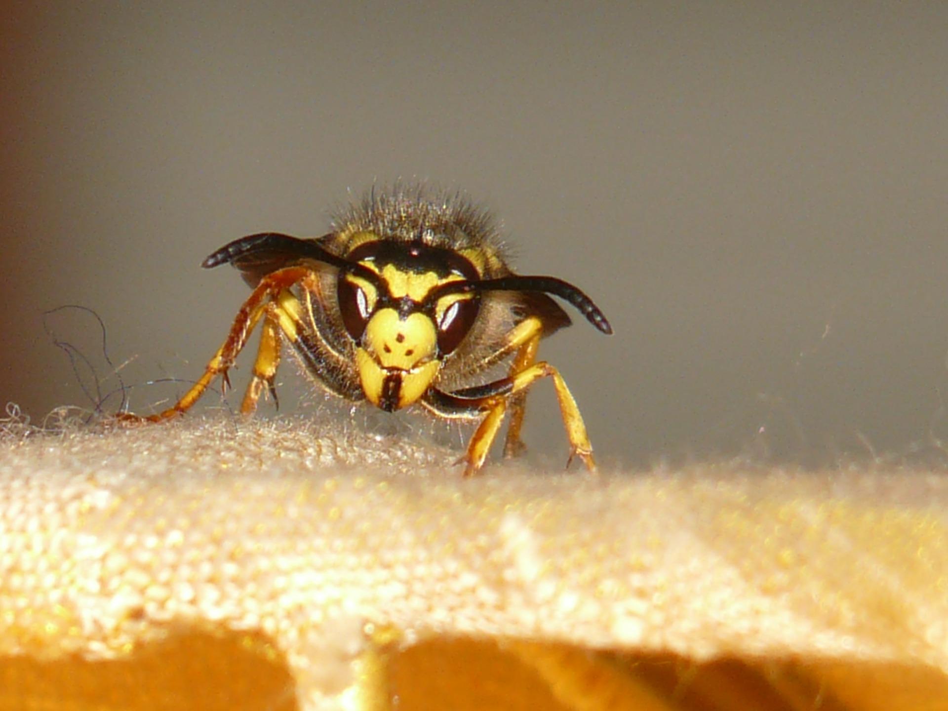 Štípnutí od sršně je velmi bolestivé, protože jde o velký hmyz.