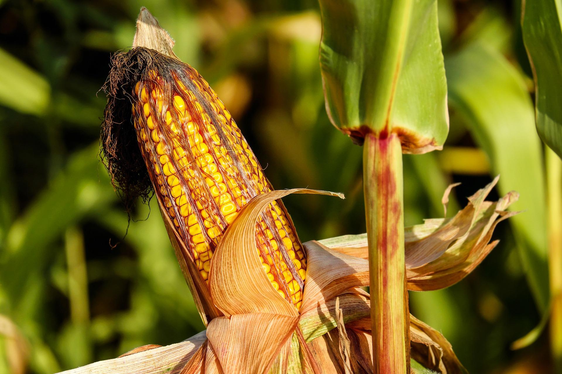 Kukuřičný škrob