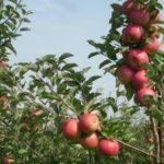 Prodej jablek Ostřešany
