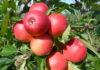 Prodej jablek Bříství