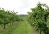 Prodej jablek Krtely