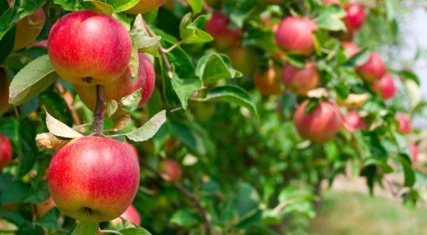 Prodej jablek Svinčany