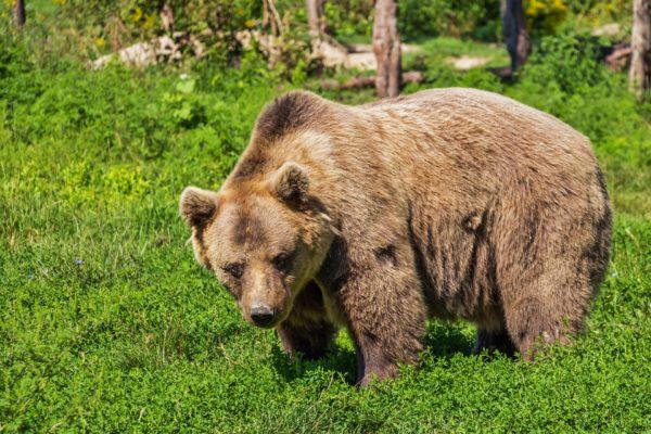 Medvědí maso