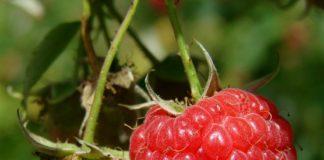 Maliny – pěstování