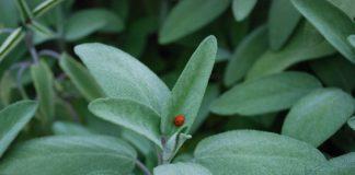 Šalvěj – pěstování