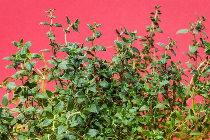 Tymián – pěstování