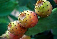 Opuncie - kaktusový fík