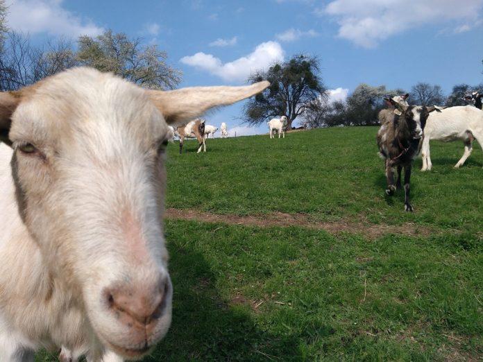 Kozí farma Vizovice