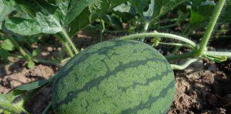 Jak pěstovat vodní melouny