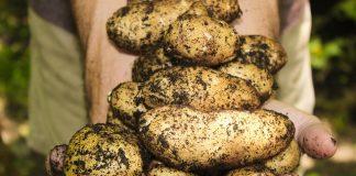 Kdy začít kopat brambory