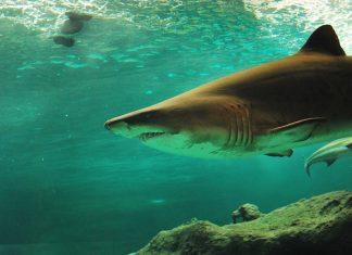 Žraločí maso
