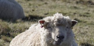 Merino vlna ovce