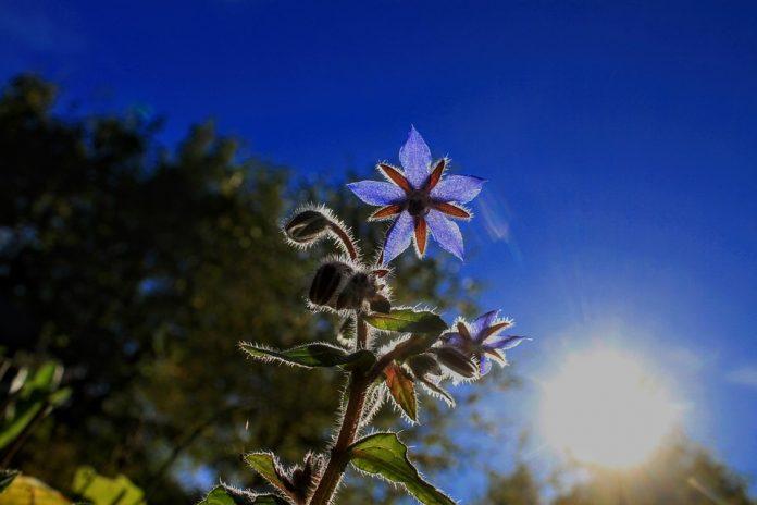 Brutnák květ