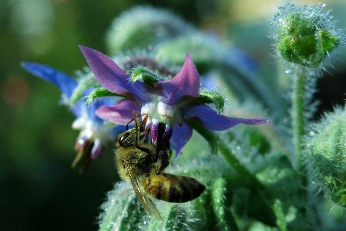 Brutnákový květ