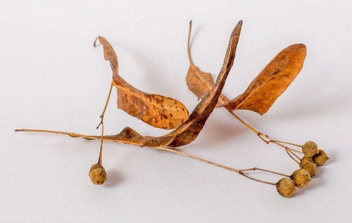 Lípa na podzim