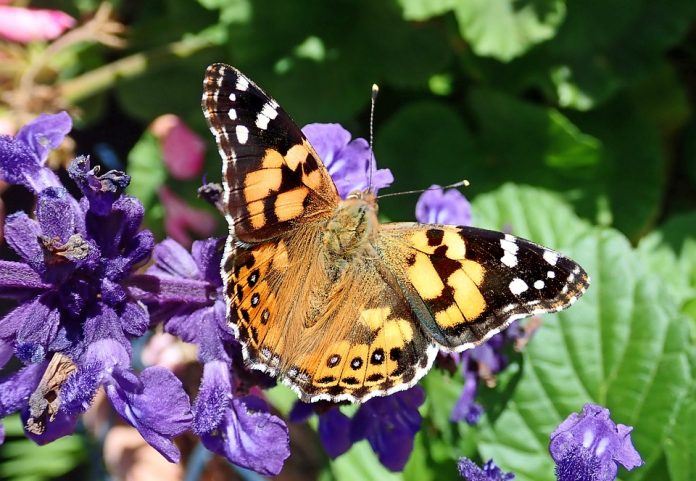 Šalvěj a motýl