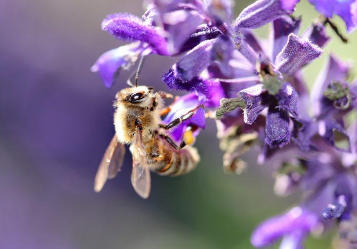 Šalvěj a včela