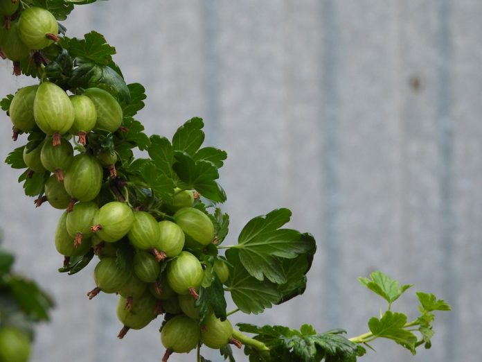 Angrešt ovocné keře