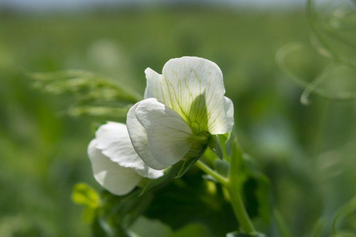 Hrášek květ