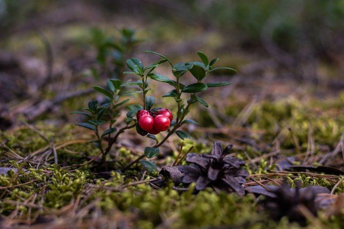 Brusinka rostlina