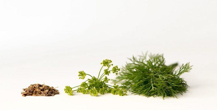 Kopr, semínka, květ