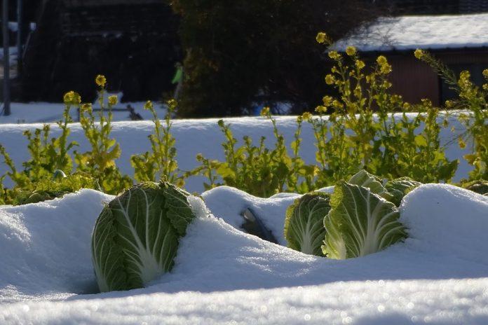 Pekingské zelí v zimě