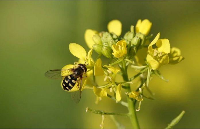 Hořčice květ