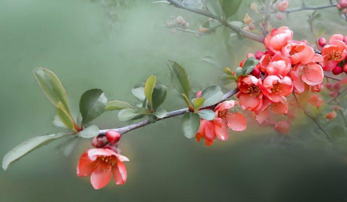 Kdoule květ