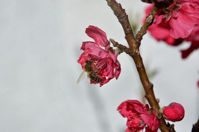 Nektarinka květ
