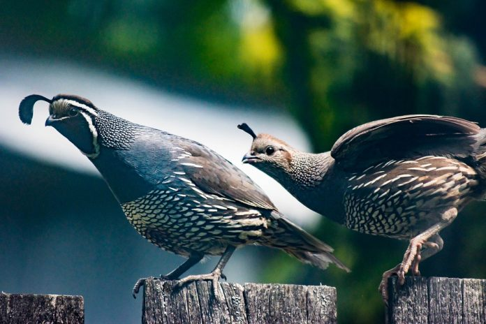 Křepelka - samec a samice