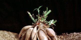 Smallanthus_sonchifolius-hlízy