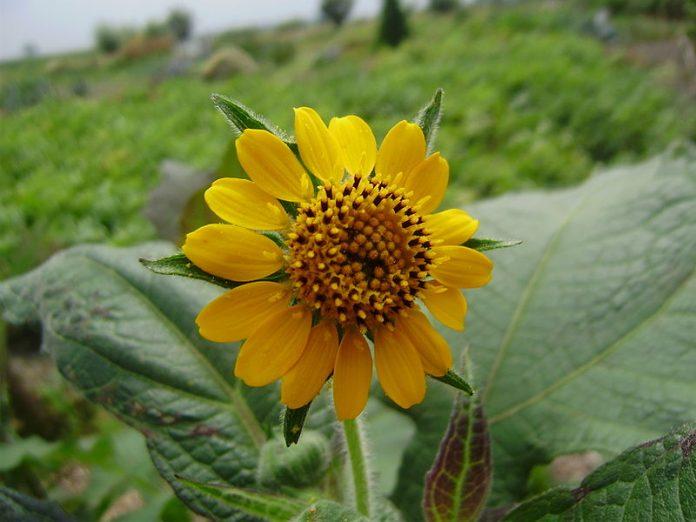 Jakon květ
