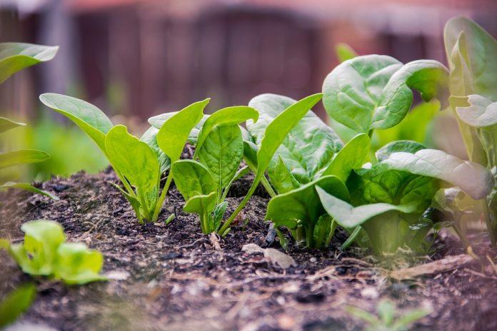 Špenát rostlina