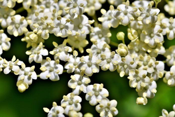 Bez - květy