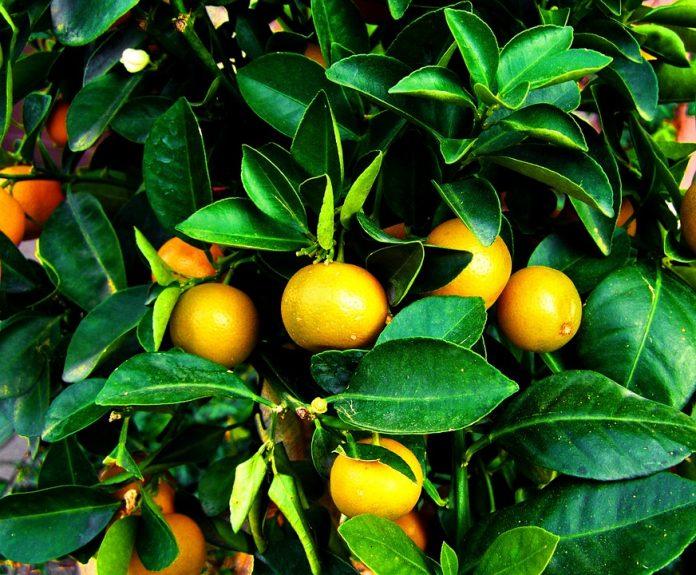 Mandarinovník