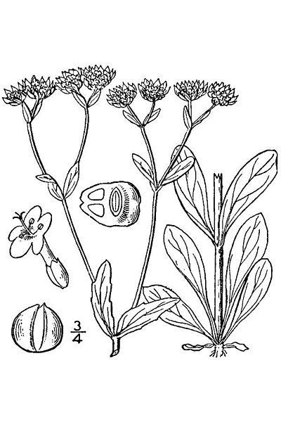 Valeriana locusta