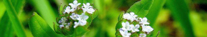 Polníček květ