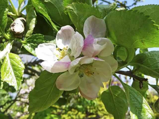 Jablka Bramley v květu