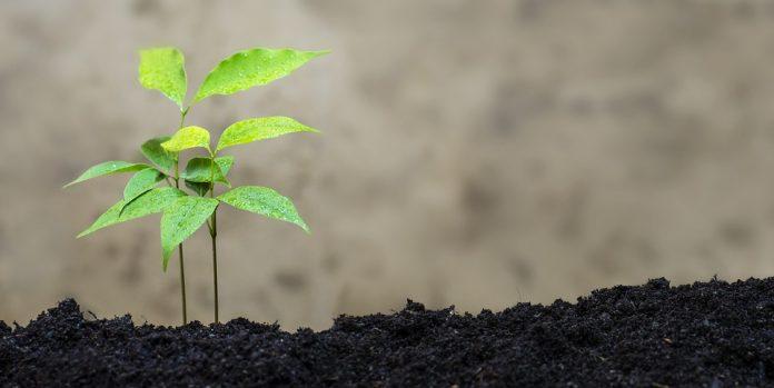 Liči rostlina