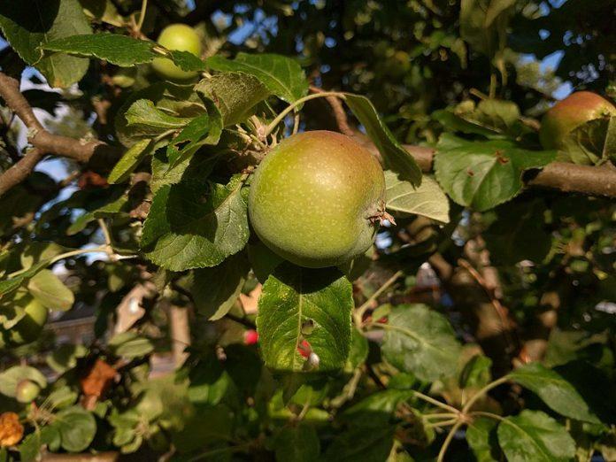 Jablka Bramley