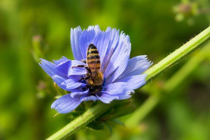 Květ čekanky