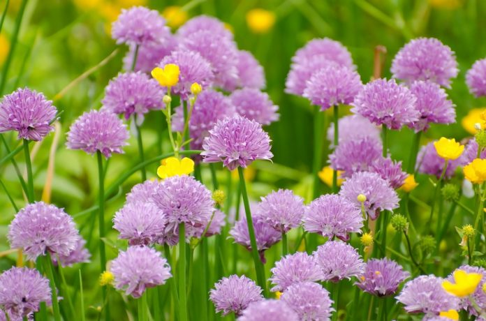 Pažitka květ