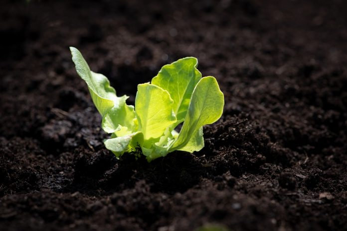 Salát rostlina