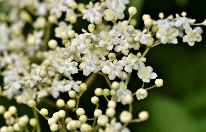Bezový květ