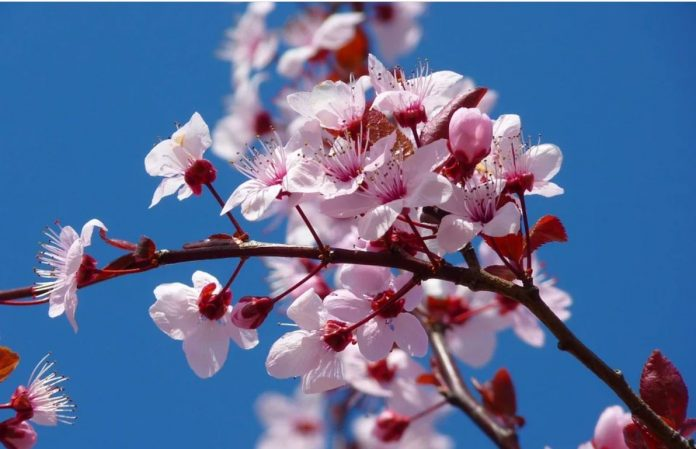 Květ třešní