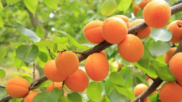 Meruňky na stromě