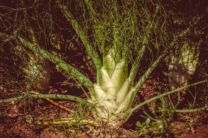 Fenykl rostlina